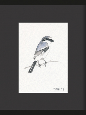 7-GREY-SHRIKE